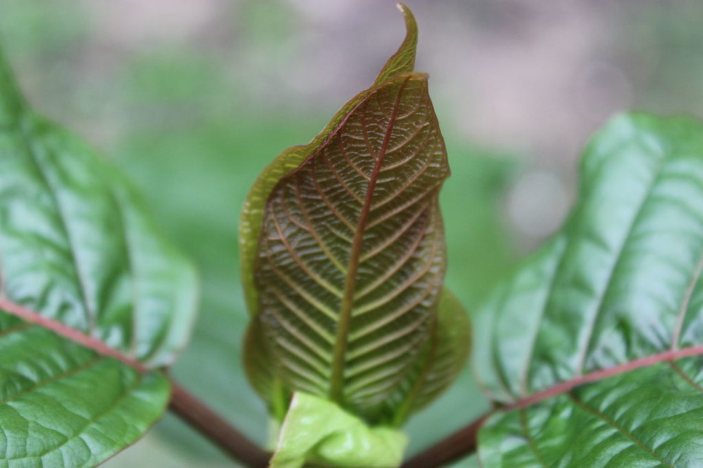 Red veined kratom leaves