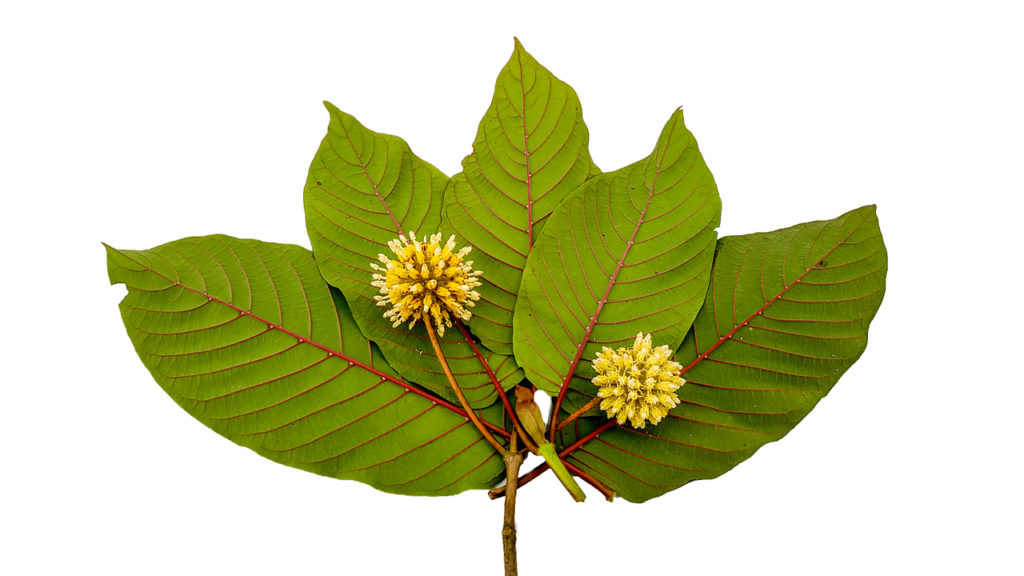 Red veined kratom leaves in white background.