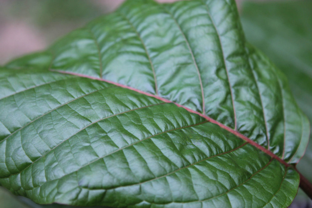 Green Kratom Leaf. Where can I buy kratom?